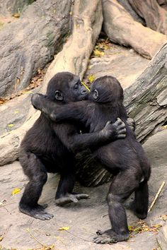 Gorilla Baby Hug Party (by Evan Animals) :)