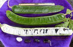 Machete Ice Cream Bean: Rare Fruit Seeds and Exotic Tropical Fruit Seeds