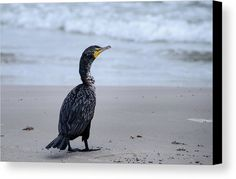 Cormorant At The Beach Canvas Print by Debra Martz.  All canvas prints are professionally printed, assembled, and shipped within 3 - 4 business days and delivered ready-to-hang on your wall. Choose from multiple print sizes, border colors, and canvas materials.