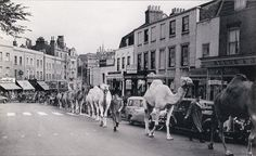 """London, Blackheath - a caravan of camels traipsing up Tranquil Vale towards """"Billy Smart's Circus"""" on the heath. The camels were supposed to have been Algerian veterans from the Foreign Legion. Vintage London, Old London, South London, Historical Pictures, Historical Sites, London History, Local History, British History, Fair Rides"""
