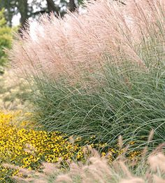 Miscanthus  Add an airy, delicate look to your landscape with graceful miscanthus. Its arching foliage and feathery summer plumes make it a great late-season privacy screen (it can reach 8 feet tall or more) or a soft backdrop for your favorite perennials.  Name: Miscanthus sinensis  Zones: 4-9  Here's a hint: Check the plant tag or description if you want a big variety; there are many dwarf selections bred for smaller gardens.