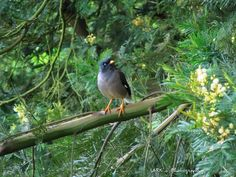 Jungle myna (Acridotheres fuscus) - Kaikatty, Nilgiris