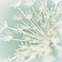 QUEEN ANNE'S Lace photography.  ORphotography  $25