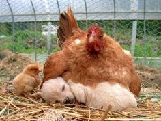 This hen and her puppy. http://www.buzzfeed.com/babymantis/the-40-best-animal-cuddlers-of-all-time-1opu?sub=2076785_1045833