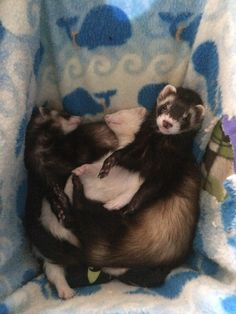 my ferrets! the black nosed one is sherlock (combs not holmes) the pink nosed one is honey. and the white furred one is bee!