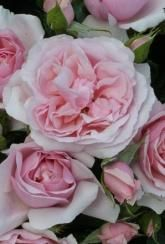 Rose (Floribunda) Natasha Richardson - Plants