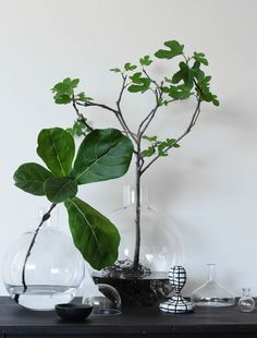 Nature Indoors - fiddle leaf branches