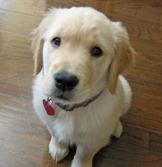 Summer the Golden Retriever