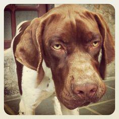 #rex #puppy #pointer