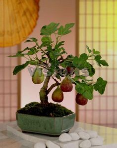 ☺ᴥDon't you just love this beautiful #bonsai!☼♥       #BonsaiInspiration