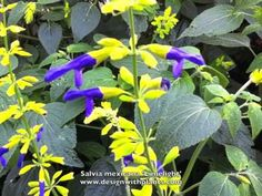 Salvia mexicana 'Limelight' - Mexican Sage - YouTube