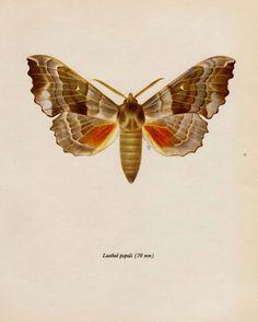 Schöne Antiquität MOTH Print Insekt Wand Kunst von plaindealing
