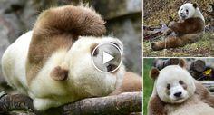 Conheça Qizai, o Único Panda Castanho e Branco Do Mundo http://www.funco.biz/conheca-qizai-unico-panda-castanho-branco-do-mundo/