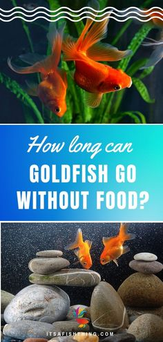 How long can goldfish go without food? Can yo take a weekend away and ignore them? How about a week? Should you even sometimes purposefully not feed them? We take a look in this article. # How Long Can Goldfish Go With Goldfish Care, Goldfish Food, Goldfish Aquarium, Fish Aquariums, Fish Feed, Pet Fish, Aquarium Air Pump, Planted Aquarium, Fish Bites