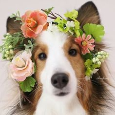 Sheltie Flower Girl