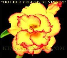 new arrival 24 colors rare desert rose seeds real Thailand Adenium obesum seeds flower bonsai plant mini tree giant flower 2pcs