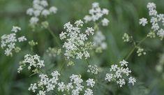 Spiselige planter i norsk natur - viivilla.no Garden Planning, Pergola, Home And Garden, Herbs, Plants, Ideas, Nature, Outdoor Pergola, Herb