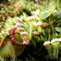 Cephalotus follicularis  New offshoots emerging for spring.  #gothictraps #vancouver #bc #canada #plants #carnivoroustagram #carnivorousplant #carnivorousplants #greenhouse #greenhouselife #cephalotus #follicularis #cephalotusfollicularis #albanypitcherplant #narcityvancouver #vancouverofficial #vancitybuzz #iamvancouver #typicalvancouver #vancityfeed #vancityhype #wearevancouver #vancouver_canada #discovervancouver #veryvancouver #604now #myvancouverlife by gothictraps