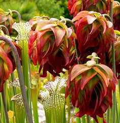 White-top Pitcher Plant in Bloom