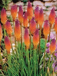 a garden tested hardy perennial plant Kniphofia Tawny King aka red hot poker