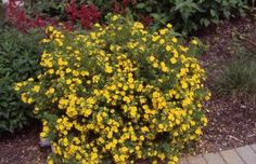 """Potentilla (""""Shrubby Cinquefoil"""") in flower; this is what I have beside the chicken coop. Possibly """"Gold Drop"""" (2 ft tall) or """"Coronation Triumph"""" (3-4 ft tall) varieties."""