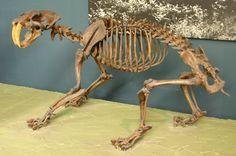 Smilodon fatalis californicus skeleton at the National Museum of Natural History, Washington, DC.