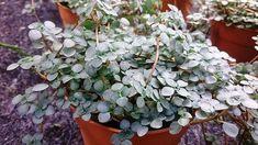 Pilea Libanensis -- Plant of the Week 33 - Savvity network