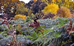 Lewis Freeth took this photograph of a stag peering through the undergrowth in Richmond Park against a backdrop of classic autumn colour.