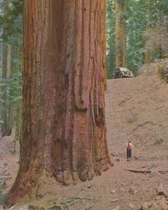 """""""Woman standing next to Giant sequoia tree, Giant Sequoia Trees, Giant Tree, Big Tree, Unique Trees, Old Trees, Tree Trunks, Nature Tree, Tree Forest, Belle Photo"""