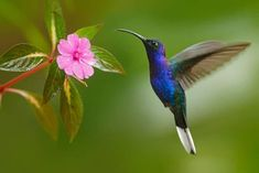 Hummingbird Violet Sabrewing Flying next to Beautiful Pink Flower Photographic Print by Ondrej Prosicky at Art.com
