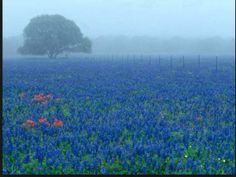 Field of blue bonnets early in the morning