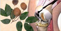 Vamos falar agora de uma das maravilhas da medicina natural.Esta é provavelmente uma das plantas mais estudadas pela ciência.Os maias, os incas e os índios brasileiros já usavam e conheciam o poder dela.