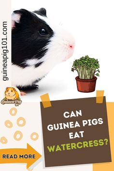 Watercress or yellowcress is aquatic plant species with deep green leaves, native to Eurasia, and naturalized throughout North America. It has a pungent, bitter, peppery flavor and is highly nutritious. But can our guinea pigs eat watercress? Let's find out! #guineapig101 #guineapigcare #guineapigguides #guineapigs #smallpets #guineapigdiet Guinea Pig Food, Pet Guinea Pigs, Guinea Pig Care, Guinea Pig Information, Pig Facts, Pigs Eating, List Of Vegetables, Aquatic Plants, Plant Species