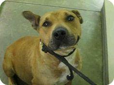 URGENT--Los Angeles, CA - Bullmastiff/German Shepherd Dog Mix. Meet A1626077, a dog for adoption. HURRY I AM IN A KILL SHELTHER!!** http://www.adoptapet.com/pet/15541836-los-angeles-california-bullmastiff-mix
