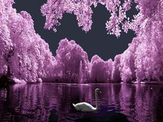 A White Swan Swimming on the Water in the Purple Moonlight