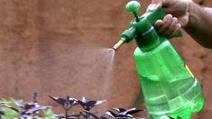 Aprenda a preparar uma solução com alho, pimenta e sabão para exterminar as pragas que atacam suas plantas durante o verão.