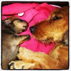 Canelita & chiqui #puppy #lovelypuppy #dog #hotdog #sausage #teckel #salchicha  #perro #cachorro