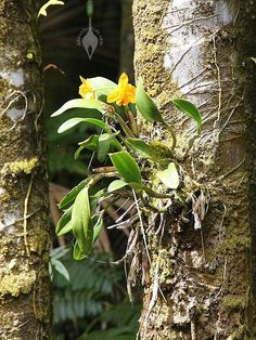 Growing+Orchids+Beginners | Cattleya orchid attached to tree at Hawaii Tropical Botanical Garden