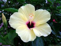 magia da flor de hibisco