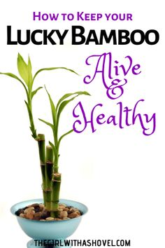 apartment plants Check out these lucky bamboo plant care tips to keep your plant alive and healthy! Indoor Bamboo Plant, Bamboo Plant Care, Lucky Bamboo Plants, Best Indoor Plants, Caring For Bamboo Plant, Bamboo Tree, House Plant Care, House Plants, Patio Plants
