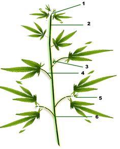 Un blog donde aprender sobre cultivo, enfocado en el cannabis