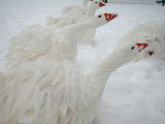 """Sebastopol Geese in the snow : ♥ their """"ruffled"""" feathers"""