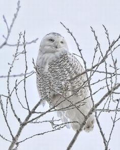 """Snowy Owl"" by Meredith Ehli taken near McKenzie, North Dakota"