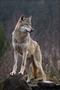 beautiful-wildlife:Alpha Wolf