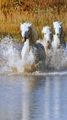 Horses charging through the water, Camargue, #France