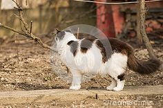 Photo about Black and white cat walking in the garden. Image of photography, pets, walking - 88424847 My Photos, Stock Photos, White Gardens, Cat Walk, Walking, Black And White, Pets, Photography, Animals