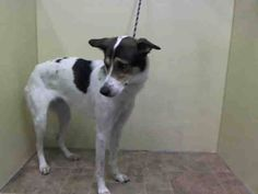 SAFE 01/27/15 (by Posh Pets Rescue) --- Manhattan Center PIPPER - A1025822 SPAYED FEMALE, TRICOLOR / BLACK, COLLIE SMOOTH / GREYHOUND, 2 yrs STRAY - ONHOLDHERE, HOLD FOR ID Reason STRAY Intake condition UNSPECIFIE Intake Date 01/20/2015 https://www.facebook.com/Urgentdeathrowdogs/photos/pb.152876678058553.-2207520000.1421882110./947722031907343/?type=3&theater