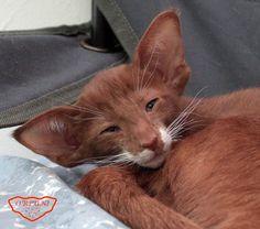 Oriental shorthair cats cinnamon Сe& Bingo Ruf O& female,. Cute Cats And Kittens, Cool Cats, Kittens Cutest, Pretty Cats, Beautiful Cats, Animals Beautiful, Animal Gato, Mundo Animal, Animals And Pets