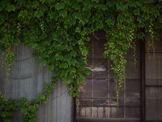 Ivy window | 출처: kasa51