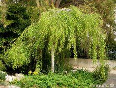 Betula pendula 'Youngii' dwarf birch